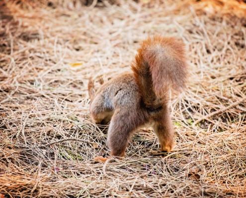 Squirrel digging