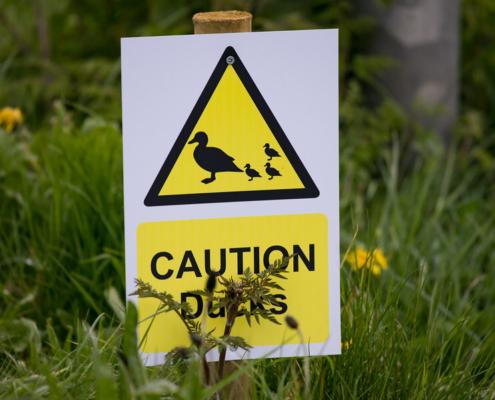 Caution Ducks